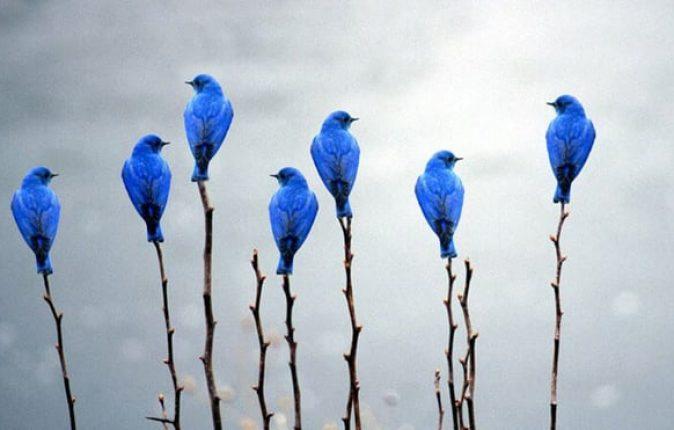 blueburd